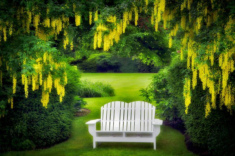 Bench and Golden Chain tree. Schreiner's Iris Gardens. Oregon