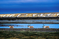 Barren Ground Caribou on coastal plains.  Arctic National Wildlife Refuge, AK.