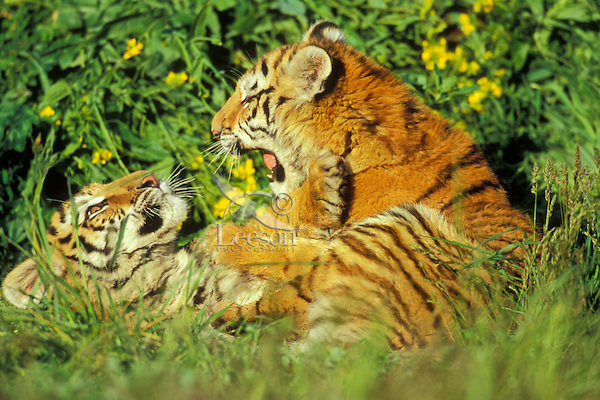 Siberian Tiger cubs (Panthera tigris altaica) playing