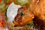 Reef scorpionfish, Scorpaenodes carribaeus, juvenile, Cozumel