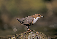 White-throated Dipper, Cinclus cinclus,adult, Oberaegeri, Switzerland, April 1995