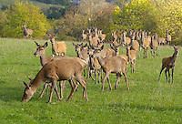 Red Deer stag and hinds.Yorkshire.