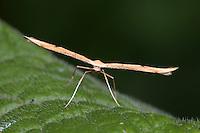 Common Plume - Emmelina monodactyla