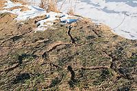 Wühlmaus Gang, Wühlmaus Gänge die unter einer Schneeschicht entstanden sind und nach Abtauen auf der Wiese sichtbar wurden