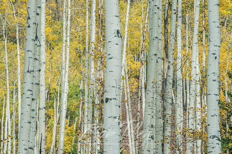 USA, CO, Aspen, Aspen Trunks near Castle Creek