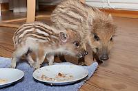 Wildschwein, verwaistes, pflegebedürftiges, in Menschenhand gepflegtes, zahmes Jungtier lebt mit im Haus, frisst in Milch aufgeweichten Zwieback vom Teller, Wild-Schwein, Schwarzwild, Schwarz-Wild, Frischling, Junges, Jungtier, Tierkind, Tierbaby, Tierbabies, Schwein, Sus scrofa, wild boar, pig