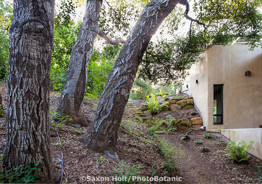 Quercus agrifolia, native live oak tree woodland as backyard for Coyote House, SITES® residential home with sustainable garden Santa Barbara California, Susan Van Atta landscape architect, Ken Radtkey architect.