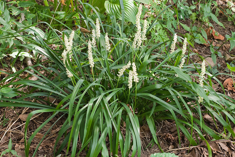 Liriope muscari monroe white with white flowers plant flower liriope muscari monroe white with white flowers mightylinksfo