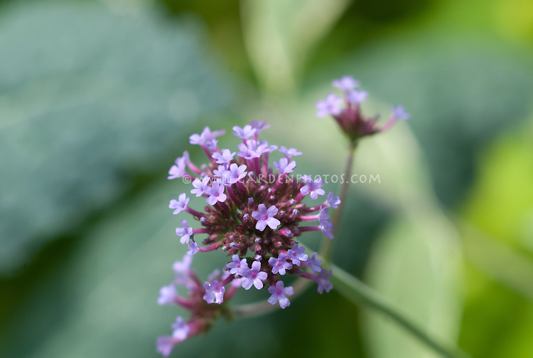 Verbena bonariensis in bloom, closeup of flower petals