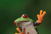 RED-EYED TREE FROG/Red-Eyed Leaf Frog..Sticky toepads allow the frog to climb with ease..Central America. Captive..Agalychnis callidryas.