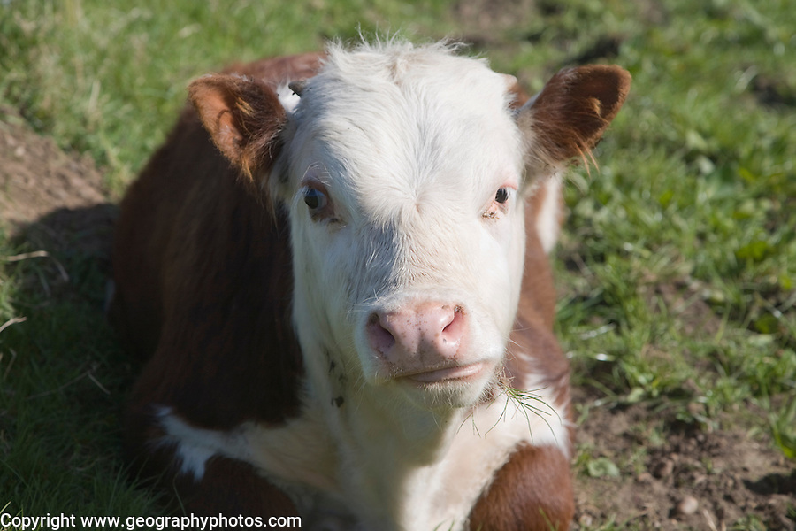 Young calf in herd of pure Hereford cattle at Boyton marshes, Suffolk, England