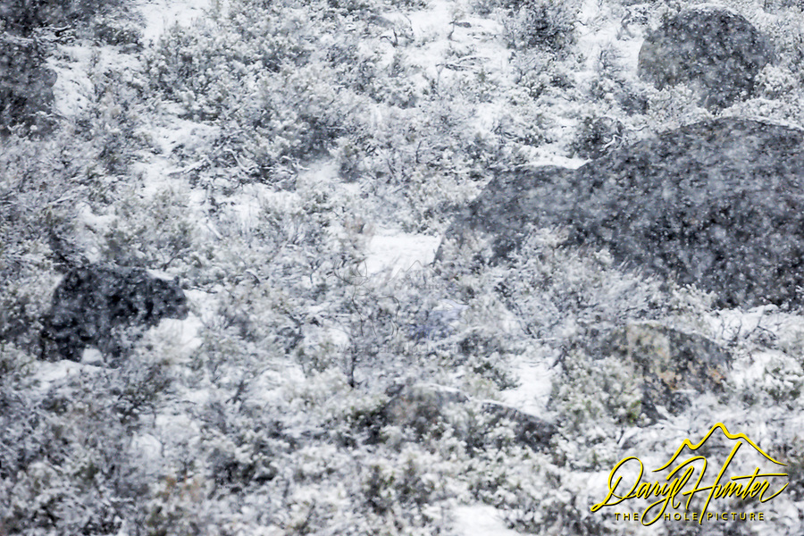 A black bear walking along in a raging snow squall in Yellowstone National Park