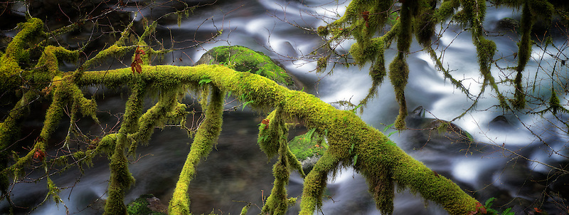 Moss covered tree along banks of Eagle Creek. Columbia River Gorge National Scenic Area, Oregon