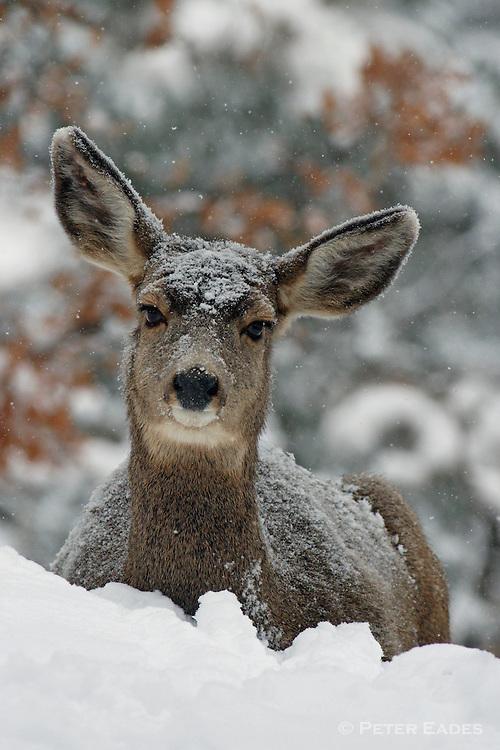 Mule Deer Doe in Snow