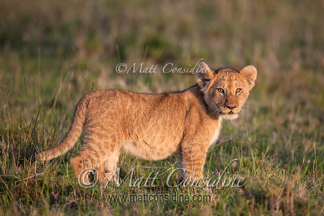 Lion cub in dawn light, Masai Mara Reserve, Kenya, Africa (photo by Wildlife Photographer Matt Considine)