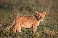 Lion cub in dawn light, Masai Mara Reserve, Kenya, Africa (photo by Wildlife Photographer Matt Considine)