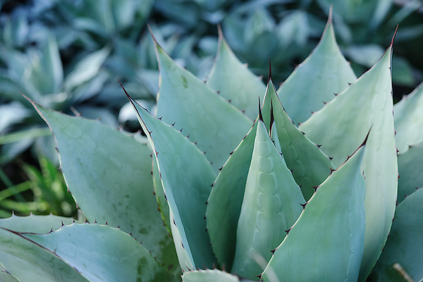 Agave ovatifolia
