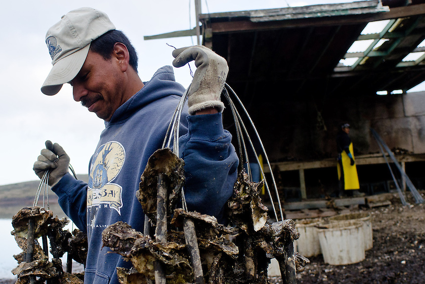 Sebastian Lopez-Castillo hauls strings of seeded oysters into shallow water at Drakes Bay Oyster Company in Inverness, Calif., on December 13, 2011. The federal contract under which the Drakes Bay Oyster Company operates has recently expired. Now the Department of the Interior must decide whether or not to allow the sustainable oyster farm to continue commercial operations in a federally designated marine wilderness. (Alvin Jornada / Special to The Chronicle)