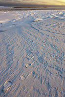 Polar bear tracks in the snow on Barter Island, Arctic, Alaska