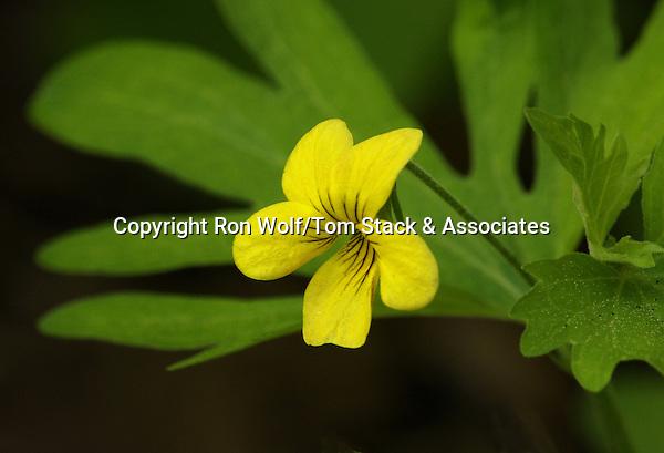 Shelton's Violet (Viola sheltonii). Yosemite National Park. Tuolumne Co., Calif.