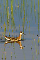 Wilson's phalarope (Phalaropus tricolor).  Klamath Marsh National Wildlife Refuge, Oregon.  June.