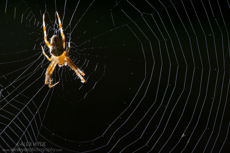 Garden Spider (Araneus diadematus) female. Norfolk Broads, UK. September.