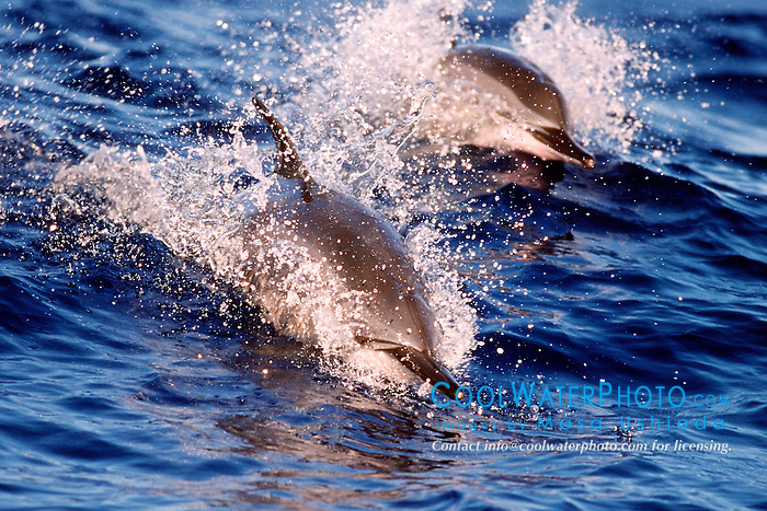 spinner dolphins, riding on swell, .Stenella longirostris, at sunset, .Kona, Big Island, Hawaii (Pacific).