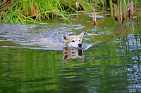 Gray wolf (Canis lupus), young animal swimming in water, Pine County, Minnesota, USA, North America