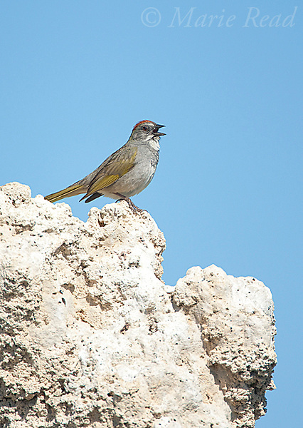 Green-tailed Towhee (Pipilo chlorurus) singing while perched on tufa tower, Mono Lake, California, USA