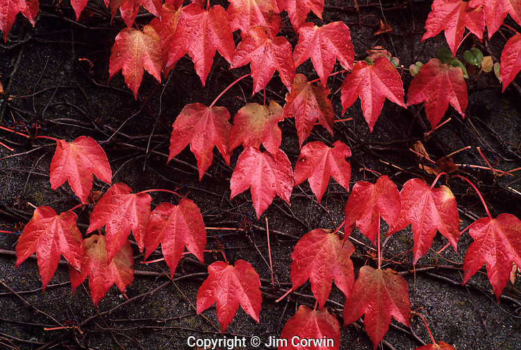 Autumn leaves vine maple spreading on cement wall Queen Anne Hill Seattle Washington State uSA