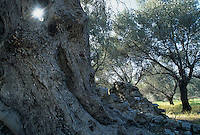 Olive Trees, Samos, Greek Islands, Eastern Aegean Islands, Greece, Europe
