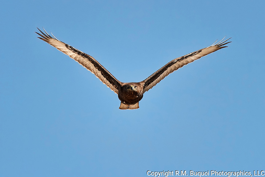 Ferruginous Hawk, Dark Morph