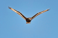 Ferruginous Hawk, Dark Morph