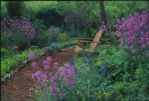 Adirondack chair in shade garden surrounded by blooming dames rocket flowers,