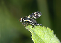 Picture Wing Fly - Urophora cardui