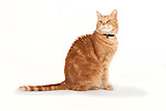 Domestic Short Haired Cat, Ginger colour, Male, Tom, Sitting on white background, studio shot, sitting, looking alert