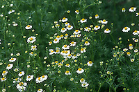 Chamaemelum nobile aka Anthemis nobile (Common or Roman Chamomile) herb aka Sweet Chamomile