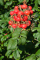 Rosa rugosa roses rosehips hips, vitamin C source fruits