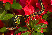 Common Garter Snake (Thamnophis sirtalis) or Red-spotted Garter Snake in azalea bush, Pacific Northwest.