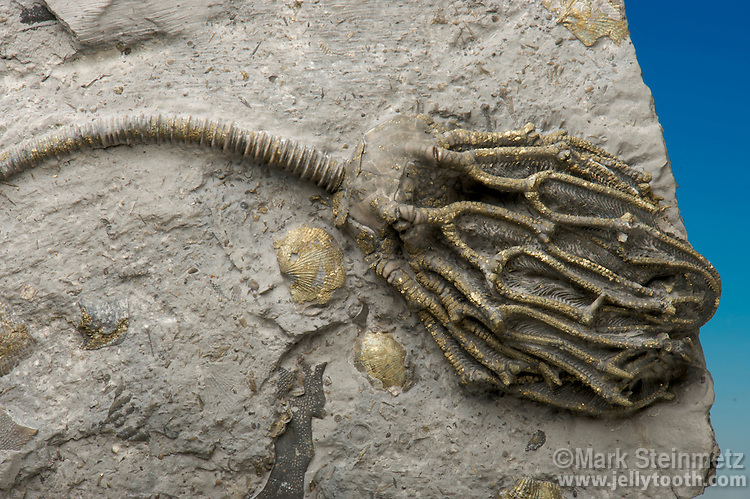 Partially pyritized crinoid (Arthroacantha carpenteri) surrounded by brachiopods from the Silica Formation (also called the Silica Shale) of the Middle Devonian. Sylvania, Lucas County, Ohio, USA.