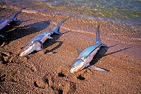 Shark finning camp, Sea of Cortez, Mexico, Pacific Ocean