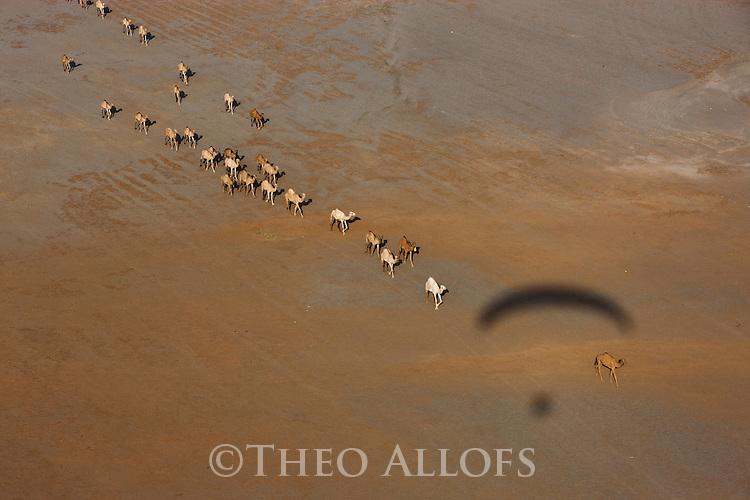 Kenya, Rift Valley, herd of camels walking to oasis in Chalbi Desert, shadow of my paraglider