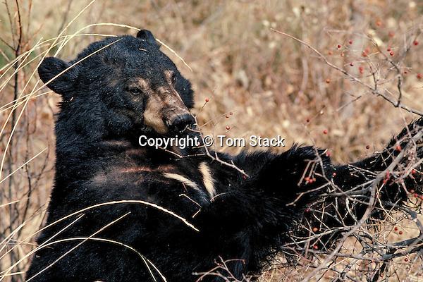 Black Bear, eating berries
