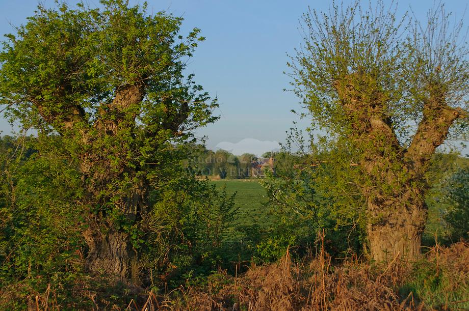 Knot eiken, Sterrenbosch