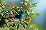 Indigo Bunting, Passerina cyanea, male, breeding plumage, Canada, blue