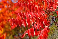 Essigbaum, Essig-Baum, Kolbensumach, Kolben-Sumach, Herbstlaub, Herbstverfärbung, Blatt, Blätter, Rhus typhina, Stag´s Horn Sumach, autumn