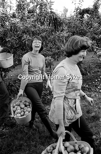 Casual seasonal fruit picking Wisbech Cambridgeshire UK. Apple picking.