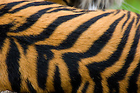 Sumatran Tiger (Panthera tigris) stripes