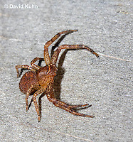 0520-1103  Ground Crab Spider, Xysticus funestus  © David Kuhn/Dwight Kuhn Photography