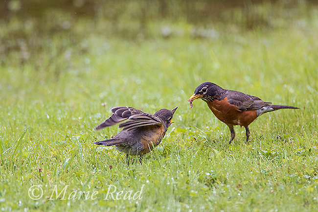 American Robins (Turdus migratorius) fledhgling (left) begging from adult (right), summer, New York, USA